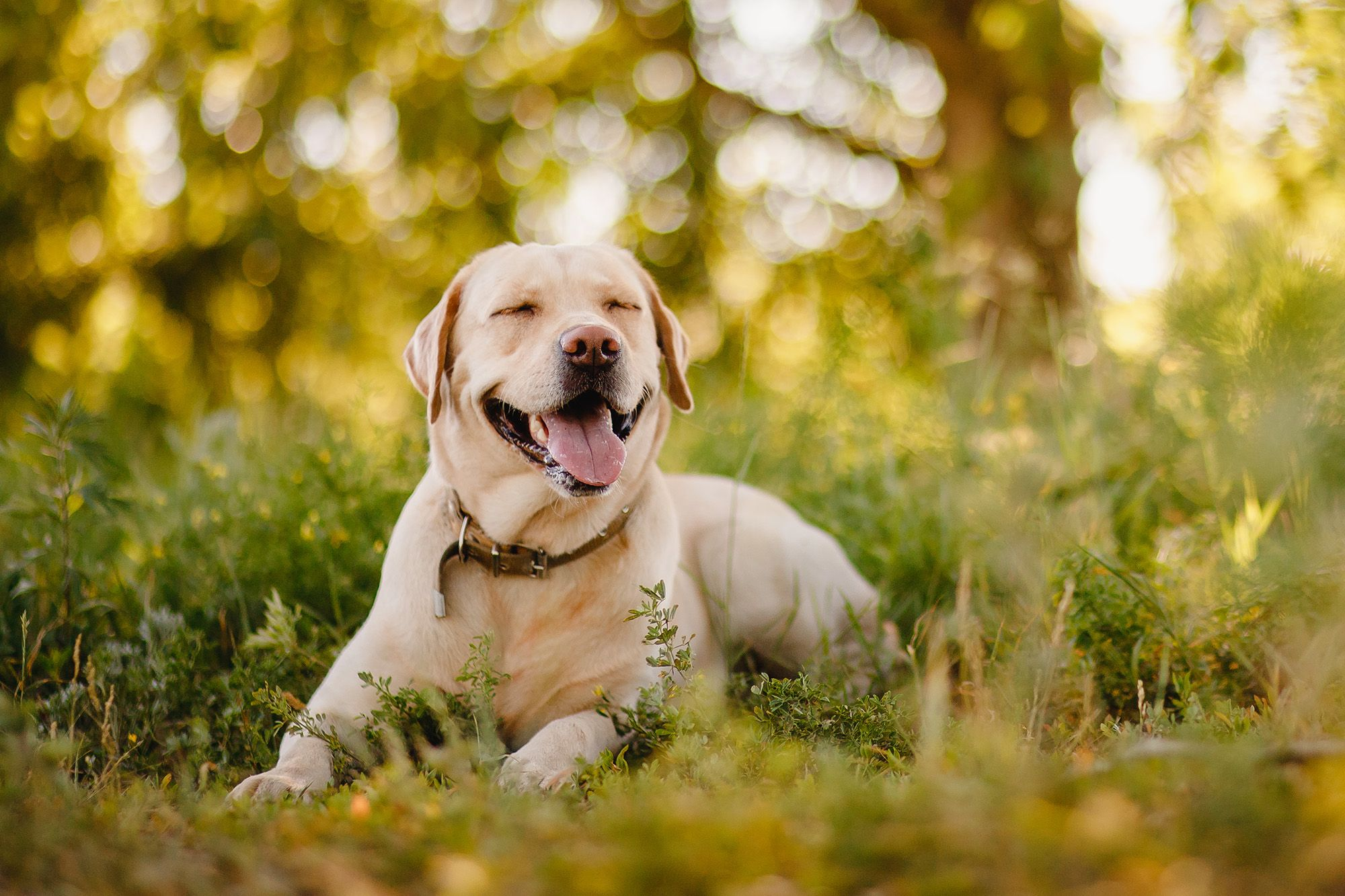 Labrador-Retriever-welpen