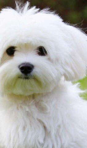 Malteser Hund welpe kaufen schweiz.