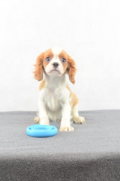 Cavalier King Spaniel hunde welpen kaufen