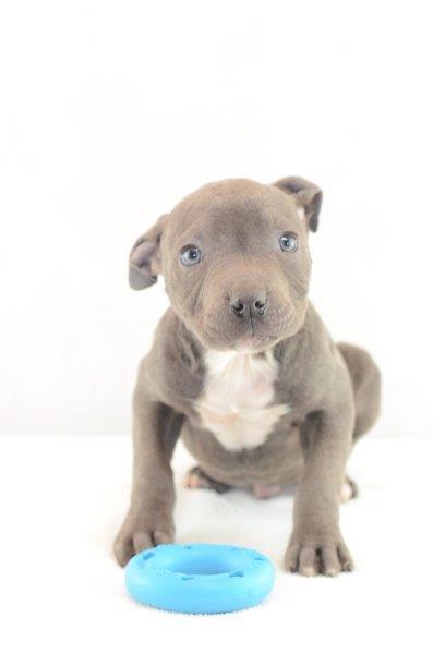 Amerikanische Staffordshire Terrier hunde welpen kaufen