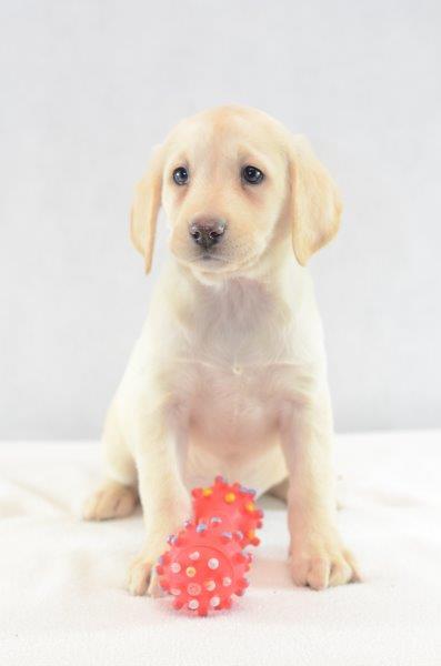 Labrador Retriever hunde welpen kaufen